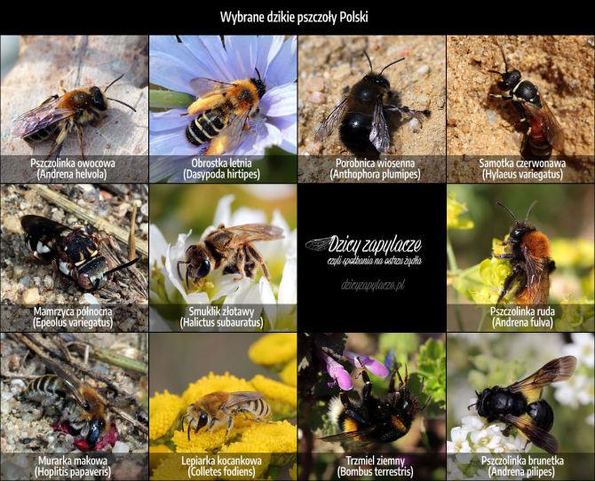 Dzikie pszczoły Polski