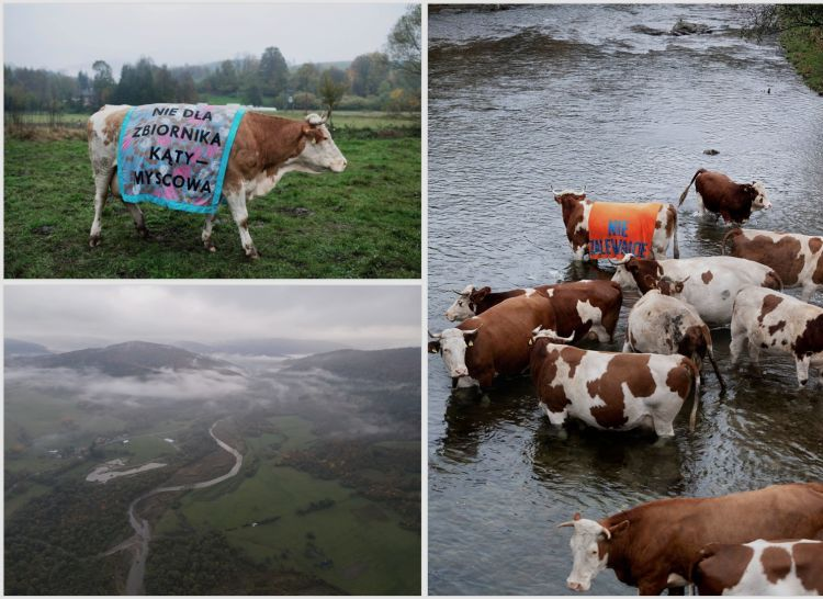 Protest Krów w Myscowej